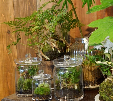 苔玉盆栽展はじまりますー_d0263815_1573794.jpg