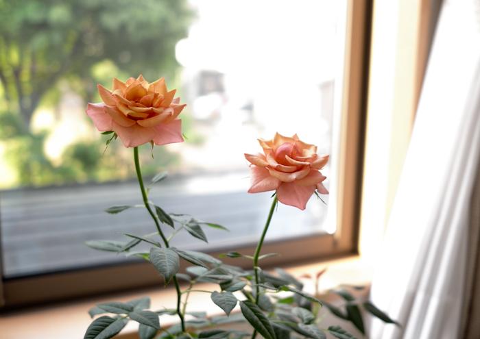 薔薇が咲いた日_e0344430_21551947.jpg