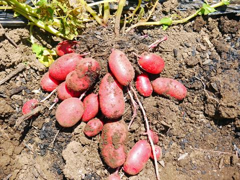 ジャガ芋(レッドムーン、ワセシロ)と中晩成玉葱収穫:5・30_c0014967_18381519.jpg