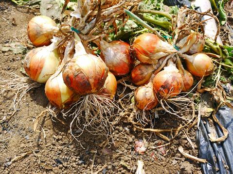 ジャガ芋(レッドムーン、ワセシロ)と中晩成玉葱収穫:5・30_c0014967_18383395.jpg