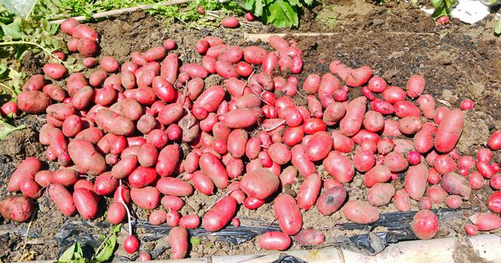 ジャガ芋(レッドムーン、ワセシロ)と中晩成玉葱収穫:5・30_c0014967_18384643.jpg