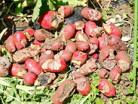 ジャガ芋(レッドムーン、ワセシロ)と中晩成玉葱収穫:5・30_c0014967_18385785.jpg