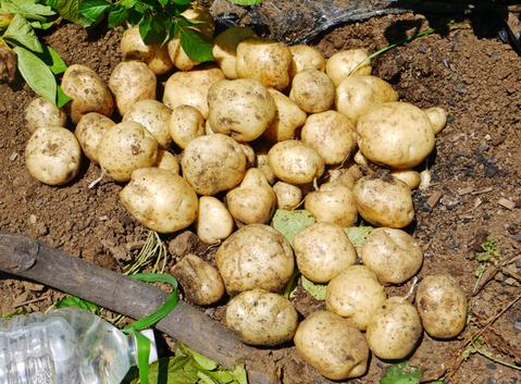 ジャガ芋(レッドムーン、ワセシロ)と中晩成玉葱収穫:5・30_c0014967_18391050.jpg