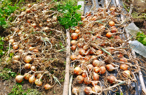 ジャガ芋(レッドムーン、ワセシロ)と中晩成玉葱収穫:5・30_c0014967_18392942.jpg