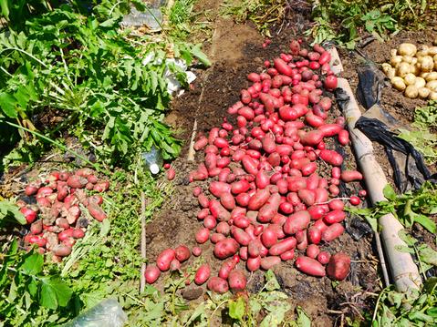 ジャガ芋(レッドムーン、ワセシロ)と中晩成玉葱収穫:5・30_c0014967_18394452.jpg