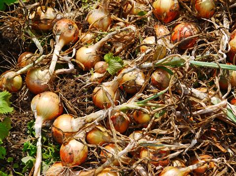 ジャガ芋(レッドムーン、ワセシロ)と中晩成玉葱収穫:5・30_c0014967_18401432.jpg