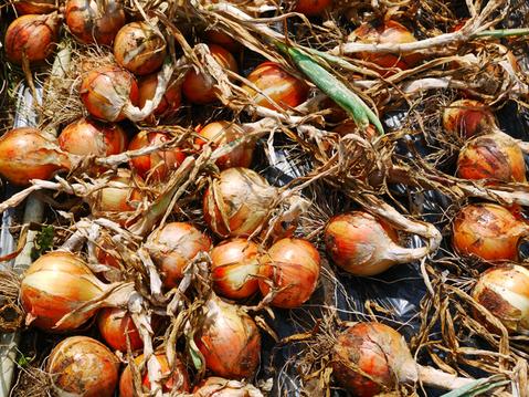 ジャガ芋(レッドムーン、ワセシロ)と中晩成玉葱収穫:5・30_c0014967_1840330.jpg