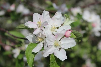 りんごの花_c0353373_21215897.jpg