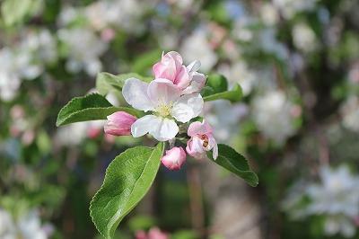 りんごの花_c0353373_21220530.jpg