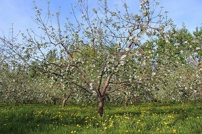 りんごの花_c0353373_21222068.jpg