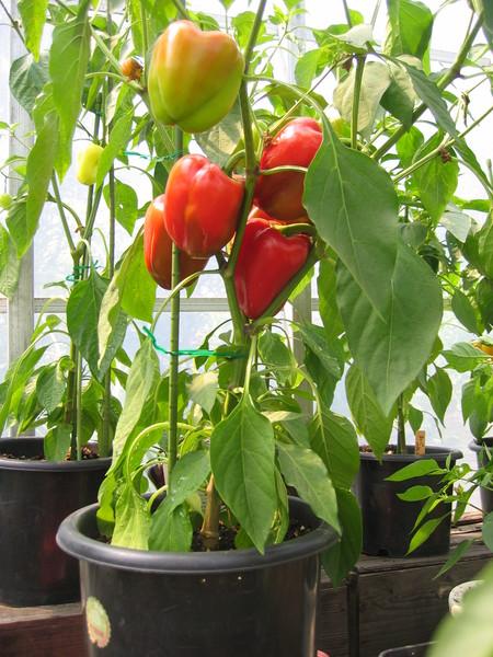 ミニパプリカを鉢植えで_a0292194_21431625.jpg