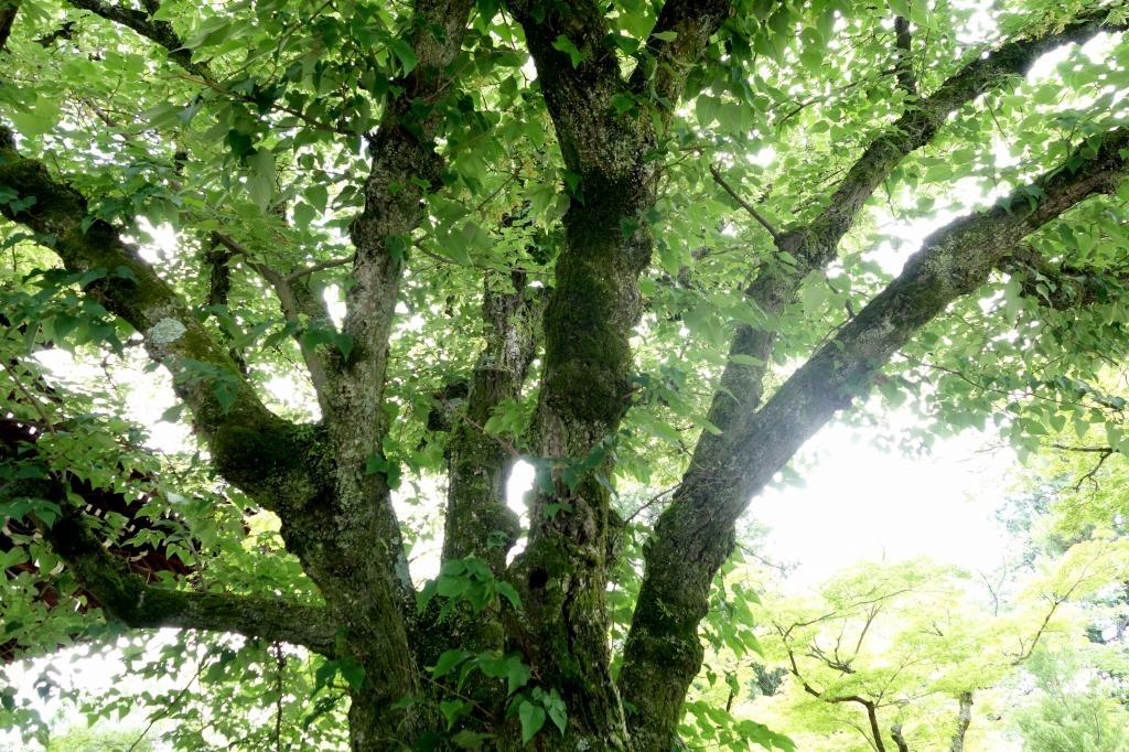 【京都】菩提樹_c0348200_22473397.jpg