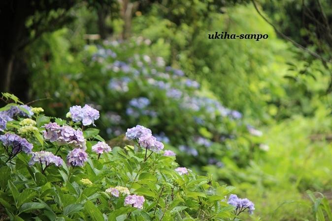 紫陽花  -1-_f0347319_15072606.jpg