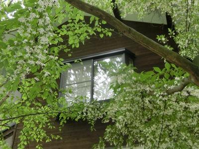 エゴノキの花、満開です_f0019247_22574196.jpg