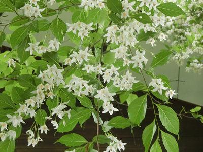 エゴノキの花、満開です_f0019247_23727.jpg
