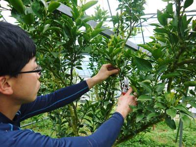 """究極の柑橘「せとか」 着果の様子(2020) 惜しまぬ手間ひまと匠の技で""""本物""""と呼べる美味しさに育てます_a0254656_18495895.jpg"""