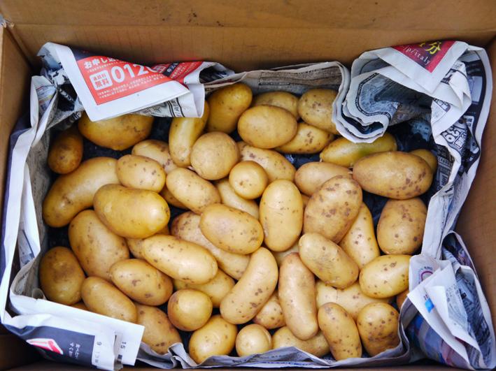 ジャガ芋(レッドムーン、ワセシロ)と中晩成玉葱収穫:5・30_c0014967_942835.jpg