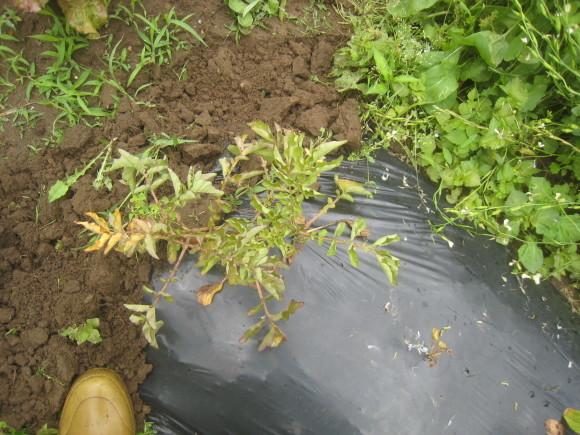 夏野菜の収穫始まる_c0369304_23214521.jpg