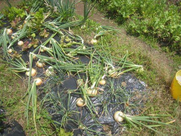 夏野菜の収穫始まる_c0369304_23225173.jpg
