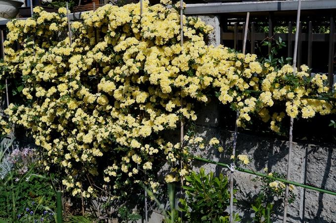 趣味の園芸【Myファームの花達①】4~5月に咲いた主な花達です♪_b0033423_183066.jpg