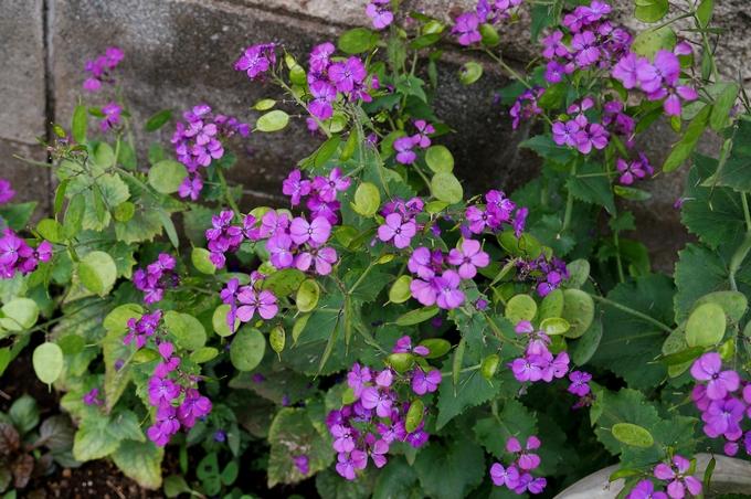 趣味の園芸【Myファームの花達①】4~5月に咲いた主な花達です♪_b0033423_18394543.jpg