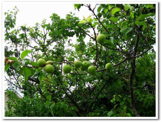 今年の梅は無料!_e0072023_19425053.jpg
