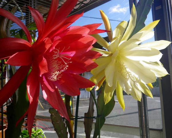 赤と黄色のデカイ様♪ 孔雀サボテンの開花^^_a0136293_16434192.jpg