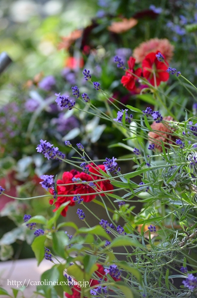 初夏の庭   Gardening in Early Summer_d0025294_1444354.jpg