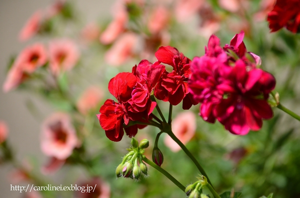 初夏の庭   Gardening in Early Summer_d0025294_14452814.jpg