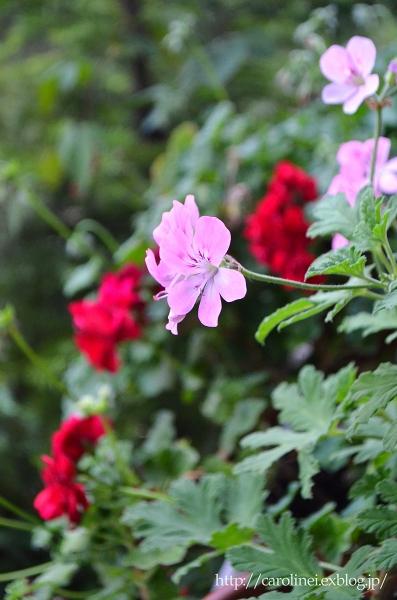 初夏の庭   Gardening in Early Summer_d0025294_1446866.jpg