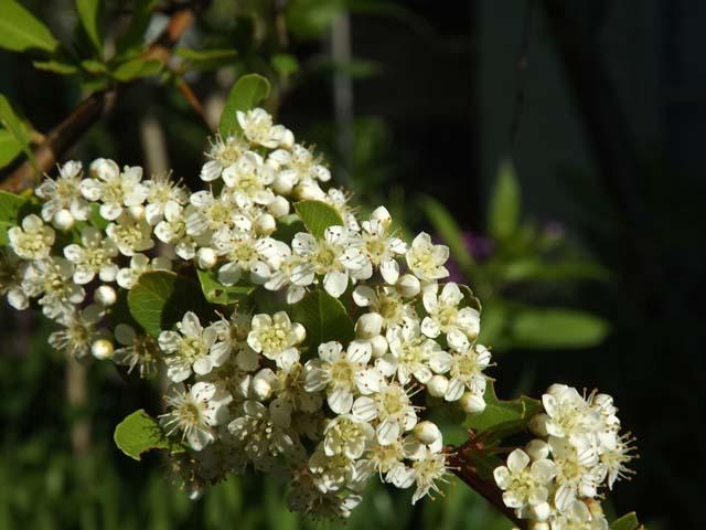 庭のピラカンサ_f0019498_8133797.jpg