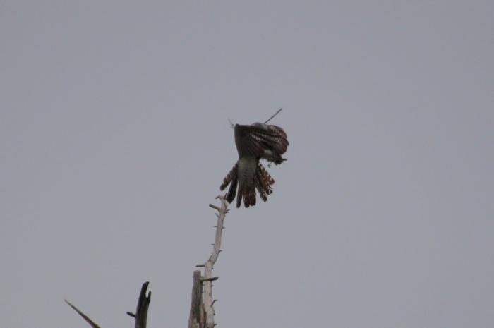 2015.6.7 カッコウの企み・演習場・カッコウ、コヨシキリ他(Plot of the cuckoo)_c0269342_08325761.jpg