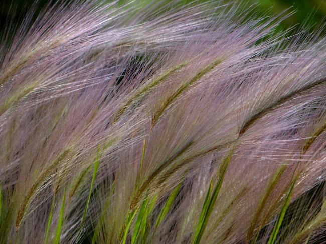 タータン麦と、アカツメクサ(タチオランダゲンゲ)追記あり♪_a0136293_16101589.jpg
