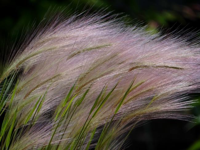 タータン麦と、アカツメクサ(タチオランダゲンゲ)追記あり♪_a0136293_167144.jpg