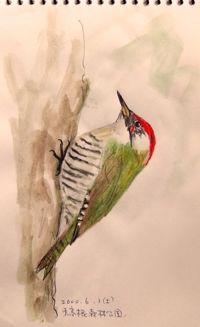 『野鳥スケッチ』 緑啄木鳥 _a0083553_9541298.jpg