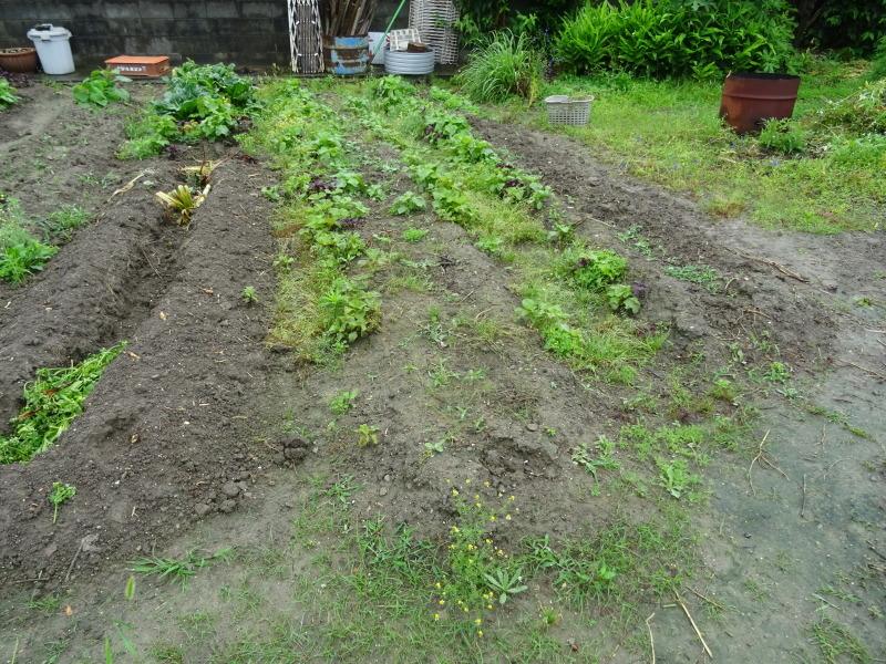 サツマイモの苗162株植え付けました     by     (TATE-misaki)_c0108460_23020603.jpg