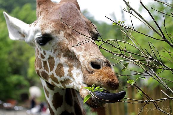 のいち動物園のアミメキリン