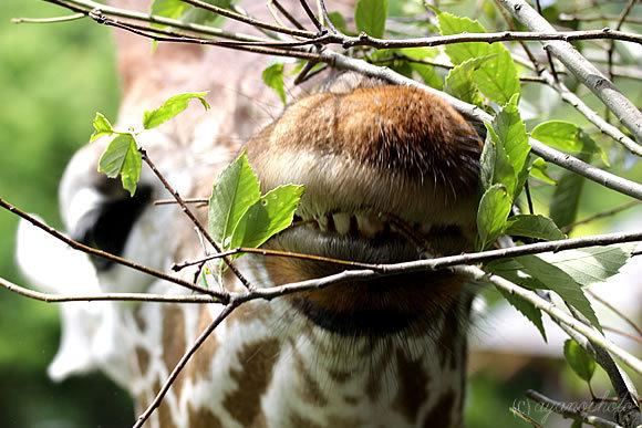 アミメキリンの歯