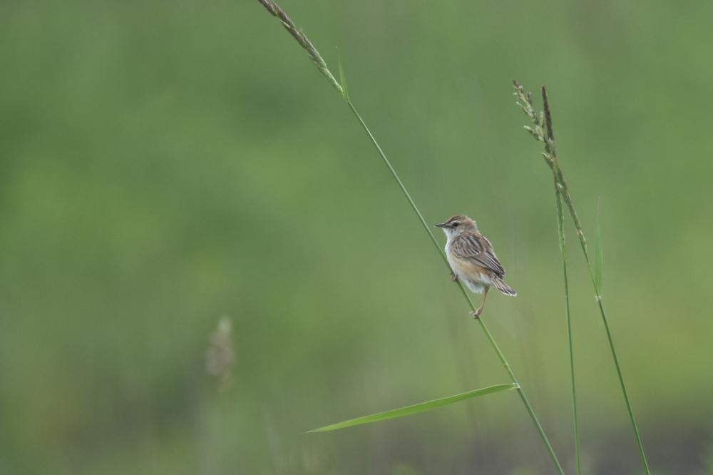 高原の鳥さん Ⅰ セッカ_f0053272_9363061.jpg