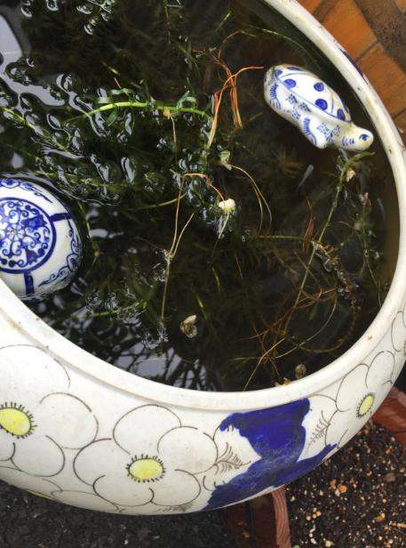 メダカ梅花藻ビオトープ_c0331486_2362212.jpg