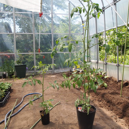 トマトの植え付け完了_a0292194_1013119.jpg