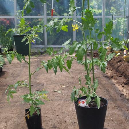 トマトの植え付け完了_a0292194_1022028.jpg