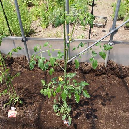 トマトの植え付け完了_a0292194_1073629.jpg