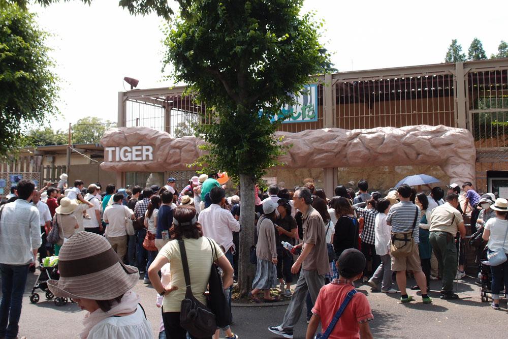 2015.6.7 東武動物公園☆ホワイトタイガーの赤ちゃん命名式【White tiger】_f0250322_20485555.jpg