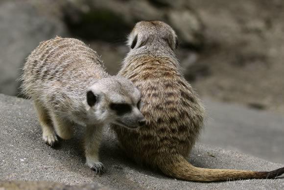 のいち動物公園のミーアキャット