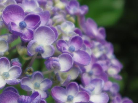 紫陽花 1_f0158364_19162544.jpg