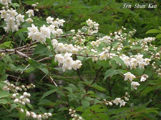 山の花 2015年6月10日_a0164068_22425819.jpg