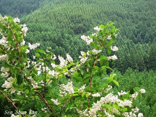 山の花 2015年6月10日_a0164068_2250329.jpg
