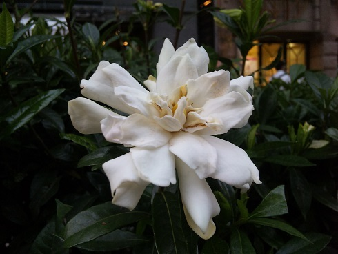 blog;くちなしの薫り #Dos gardenias #キューバ #SON四郎_a0103940_14484175.jpg