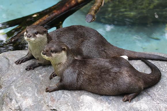 のいち動物公園のコツメカワウソ